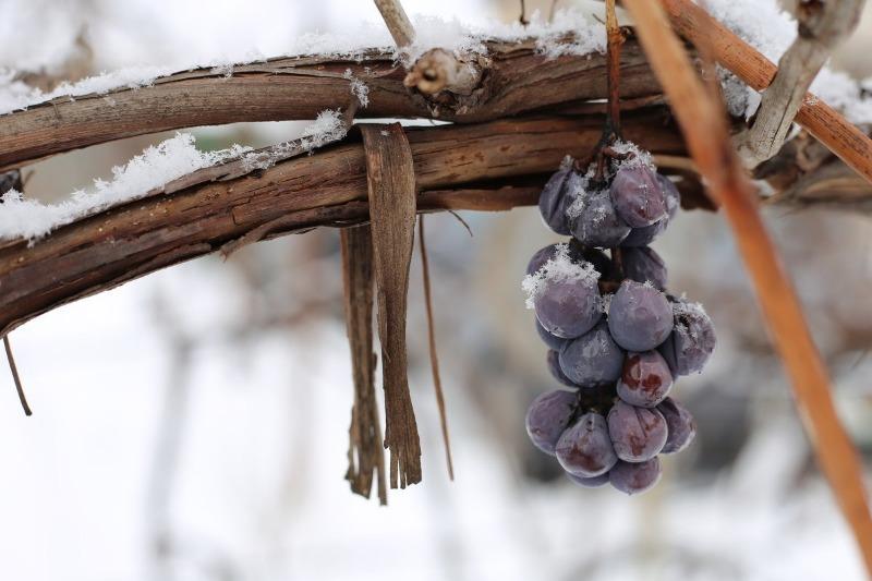 7 плодово-ягодных культур, которые требуют укрытия на зиму