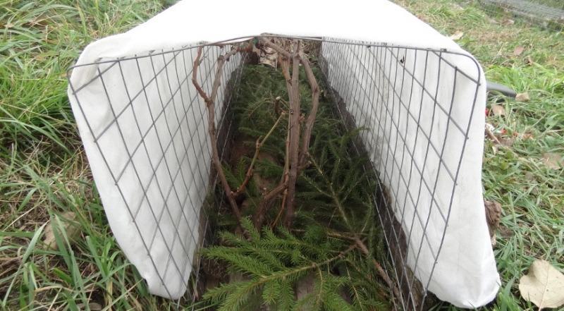 Чем укрыть виноград, чтобы он не замерз даже самой холодной зимой