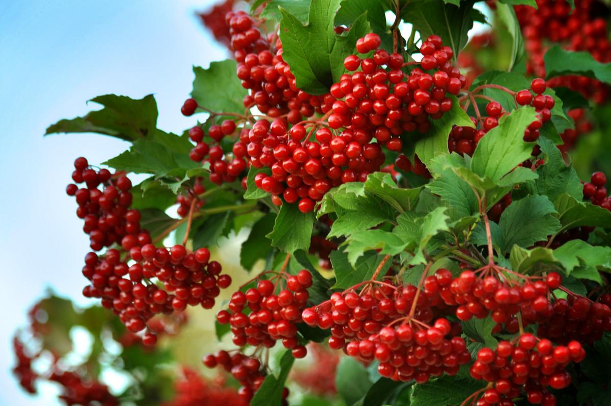 Фото и названия популярных плодовых кустарников
