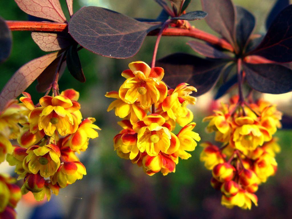 Кисти цветов барбариса