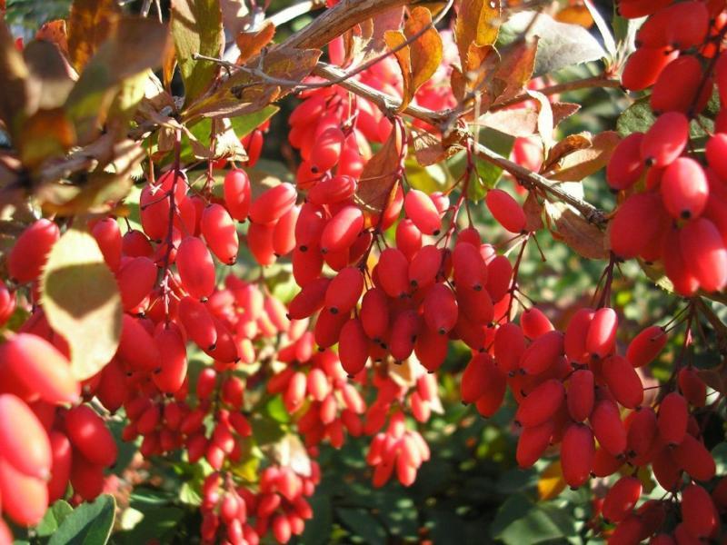 Куст барбариса с красными ягодами