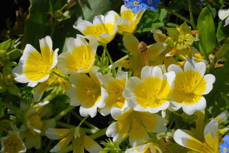 Солнышки в вашем саду: посадка и уход за лимнантесом