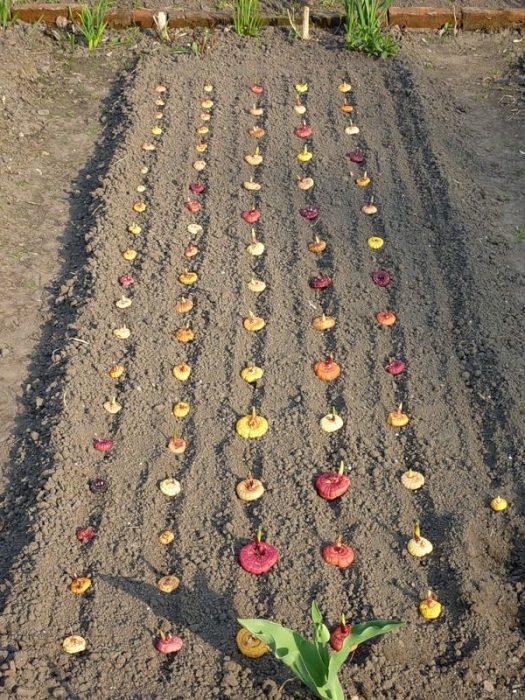 Луковицы гладиолуса в открытом грунте