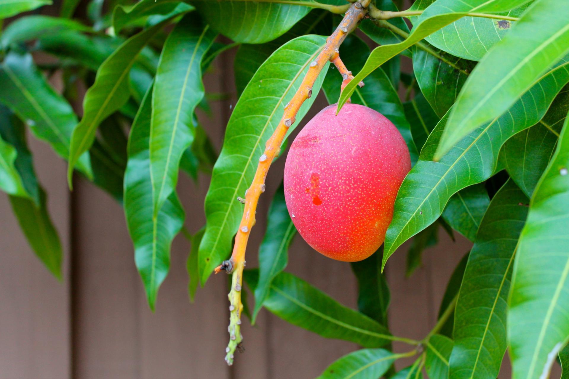 Частица тропиков в квартире: как вырастить манго в домашних условиях