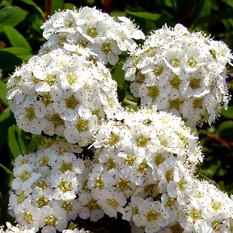 Ниппонская спирея с белыми цветами
