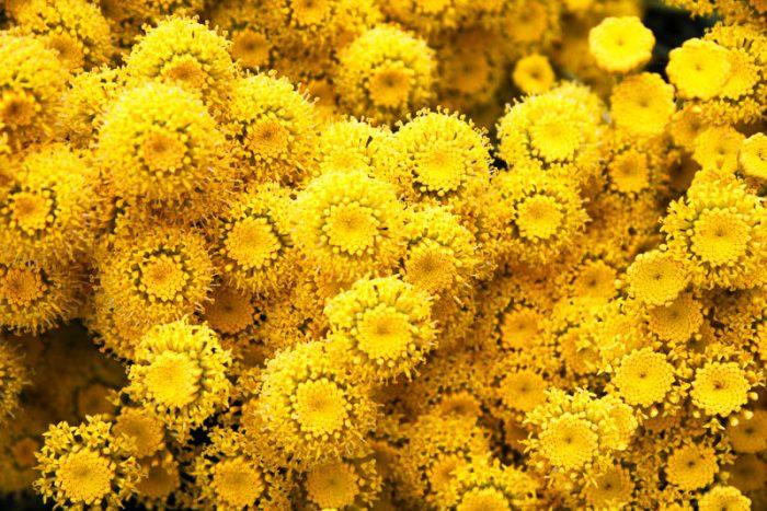 Обильно цветущая сантолина