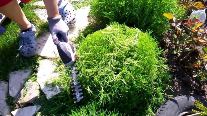 Обрезка кустарника сантолины