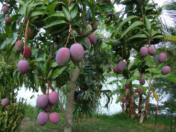 Дерево манго с плодами