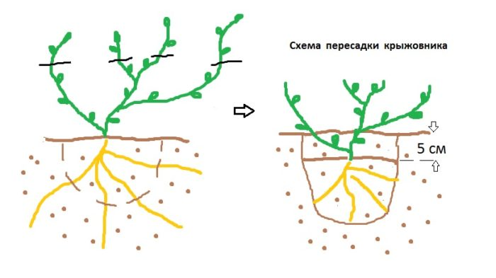 Схема пересадки крыжовника