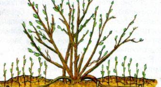 Размножение крыжовника горизонтальными отводками