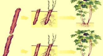 Размножение крыжовника одревесневшими черенками
