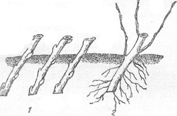 Размножение ирги черенками