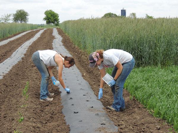 Посев семян цветной капусты в грунт