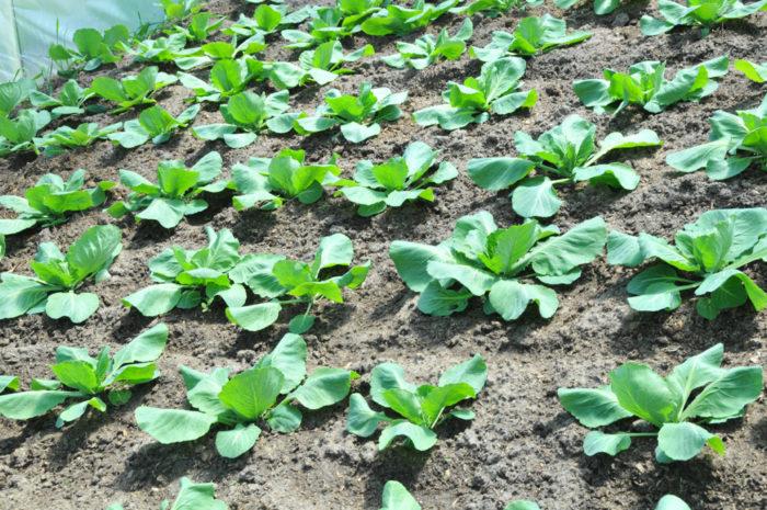 Посевы цветной капусты