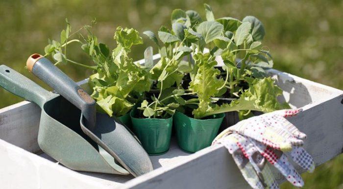 Приготовленная для высадки рассада цветной капусты