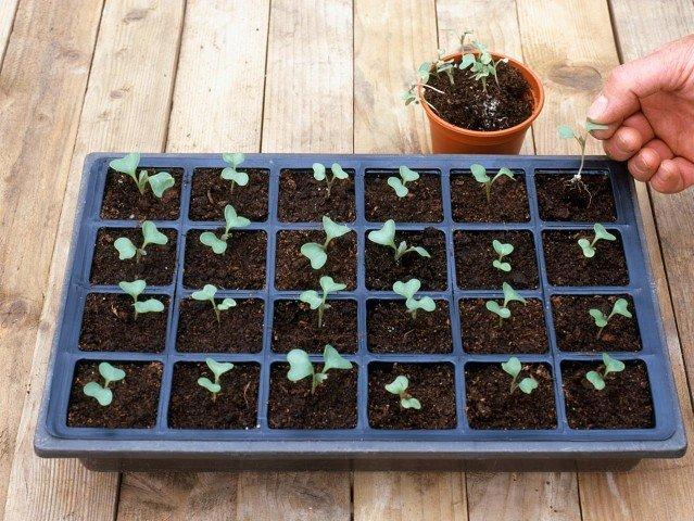 Пикирование рассады цветной капусты