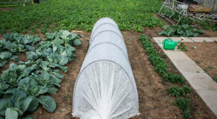 Накрытая агроволокном грядка цветной капусты