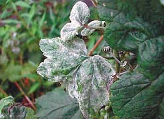 Листья смородины, повреждённые мучнистой росой