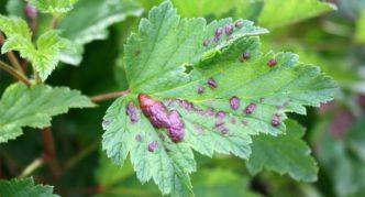 Поражённый галловой тлёй лист смородины