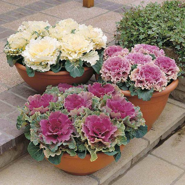Декоративная капуста в вазонах