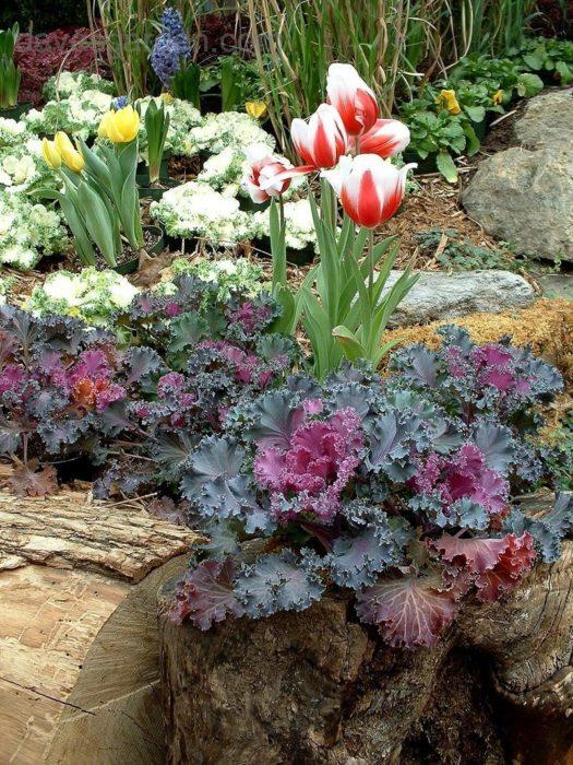Декоративная капуста в цветнике