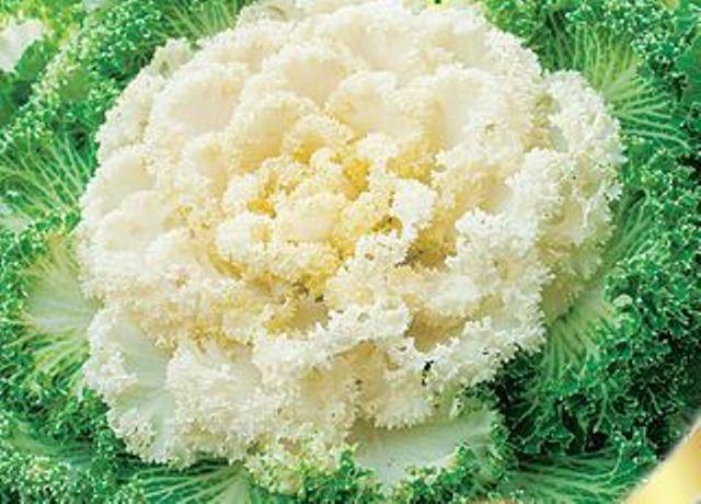 Сорт декоративной капусты Нагойя белая