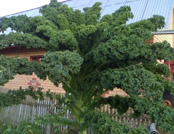 Сорт декоративной капусты Язык жаворонка