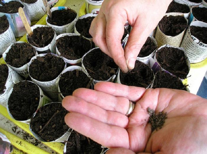 Посев цветной капусты на рассаду