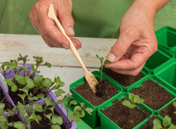 Пикировка рассады цветной капусты