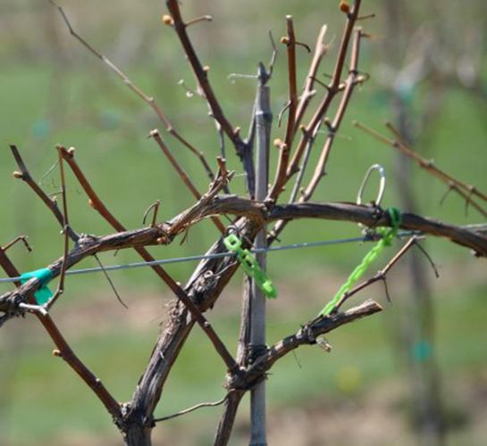 Виноградная лоза просыпается