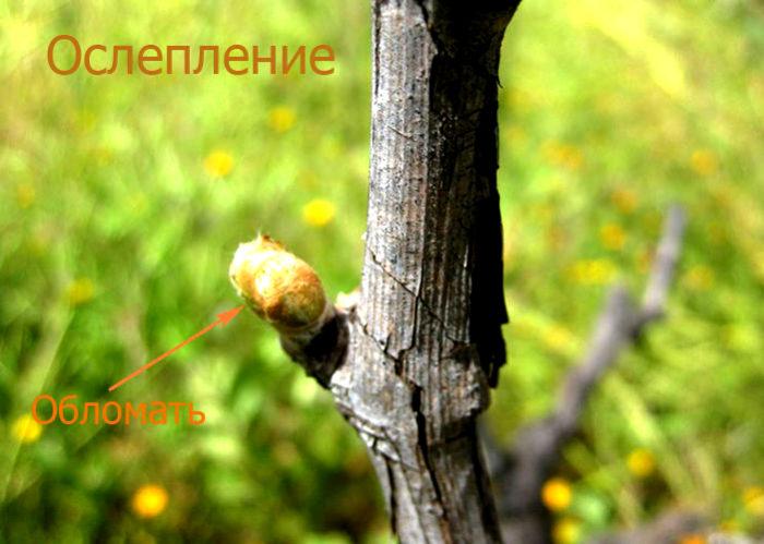 Ослепление виноградной лозы