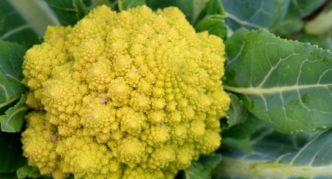 Сорт цветной капусты Романеско