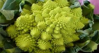 Сорт цветной капусты Амфора