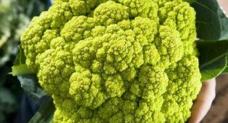 Сорт цветной капусты Мазерата Зелёная