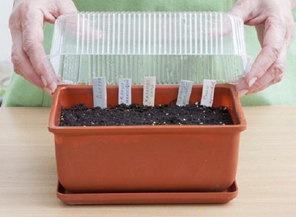 Домашняя тепличка для проращивания семян бархатцев