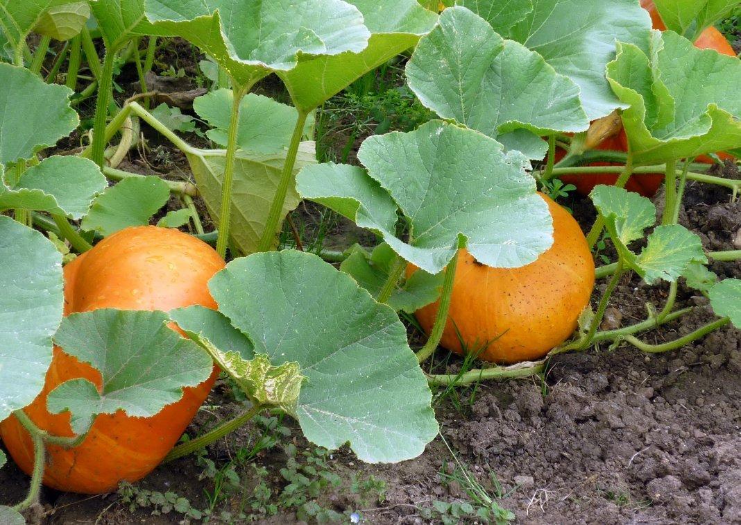 Чемпион по размеру плода: сажаем на даче тыкву