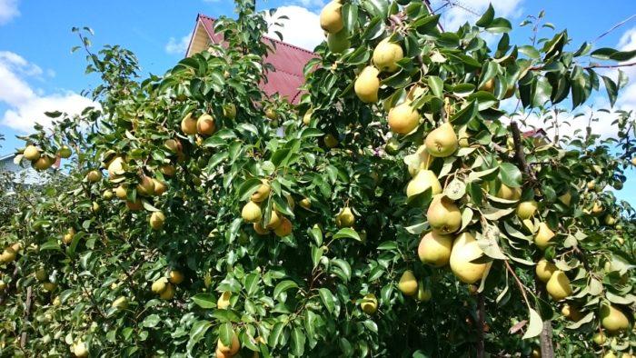 Дерево груши Лада с плодами