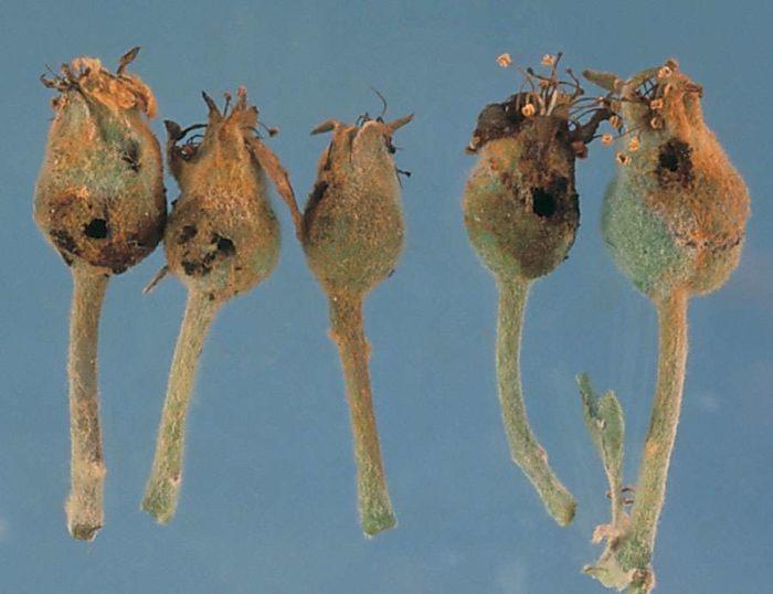 Бутоны, поражённые цветоедом
