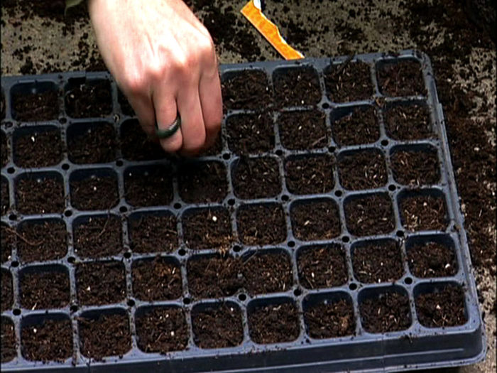 Посев капусты в кассеты