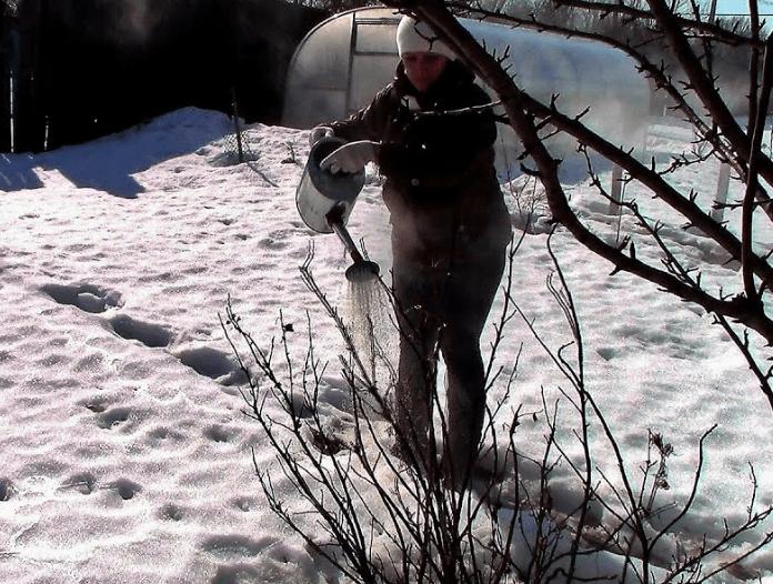 Обработка смородины кипятком по снегу