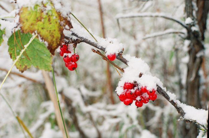 Красная смородина зимой