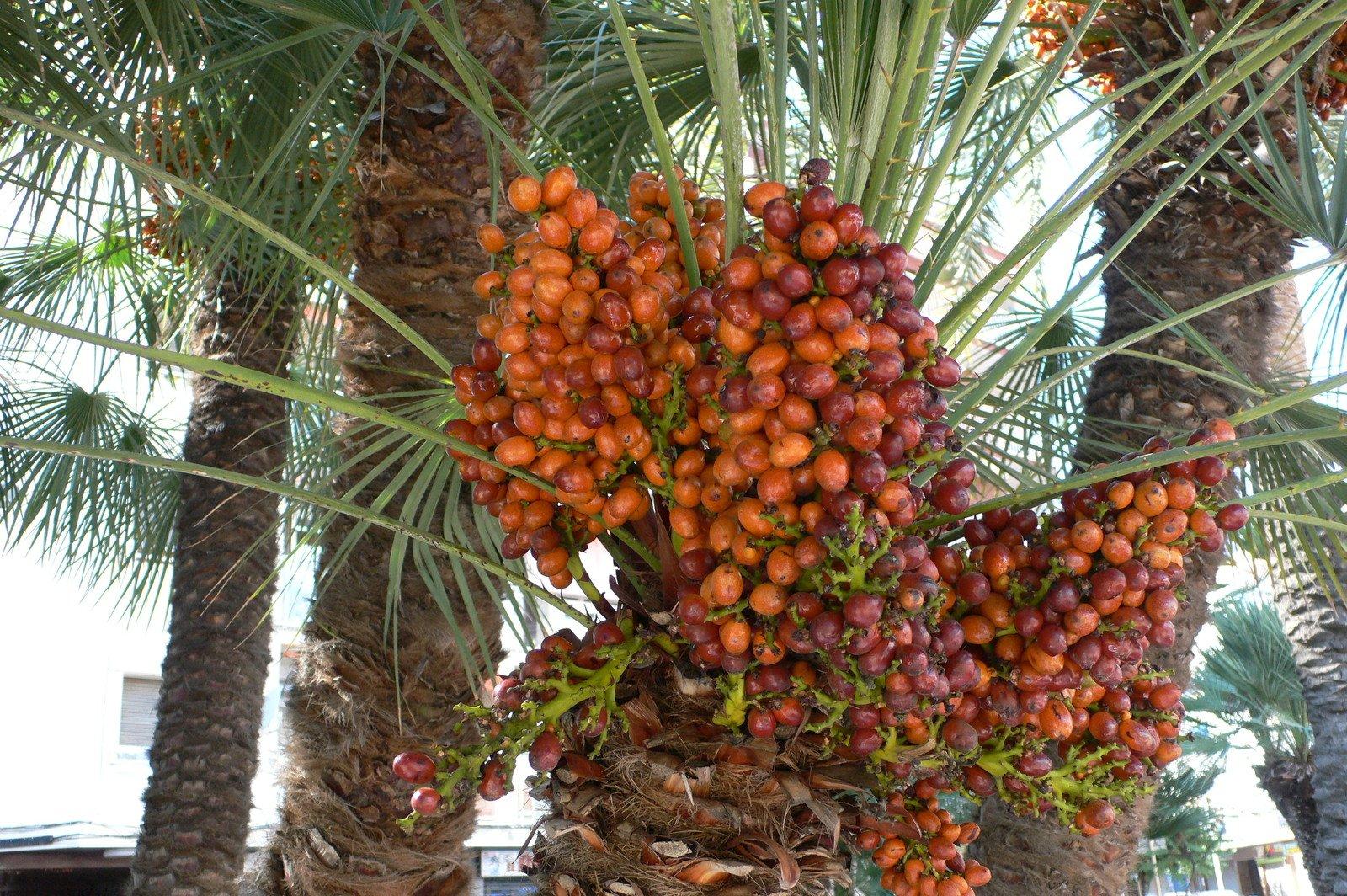 Финиковая пальма: как и где растут финики