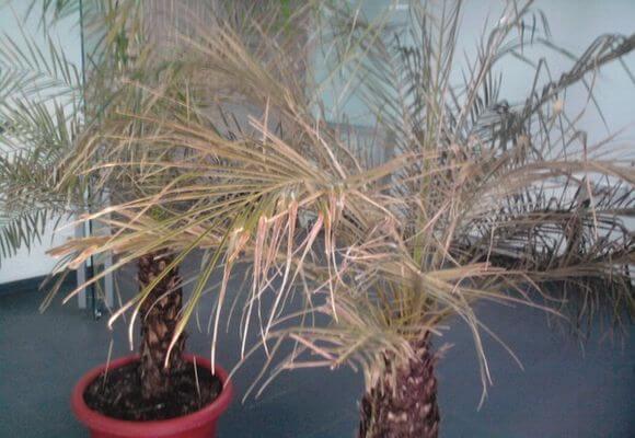Корневая гниль финиковой пальмы