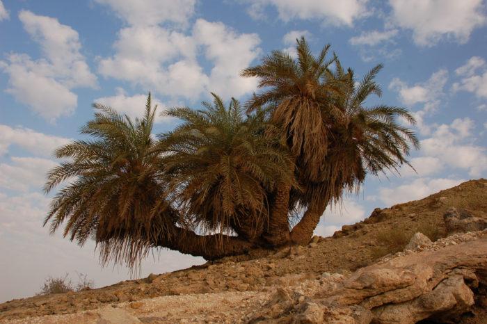 Финиковая пальма в природе