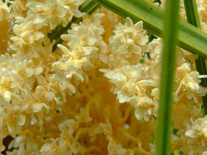 Мужские цветки финиковой пальмы