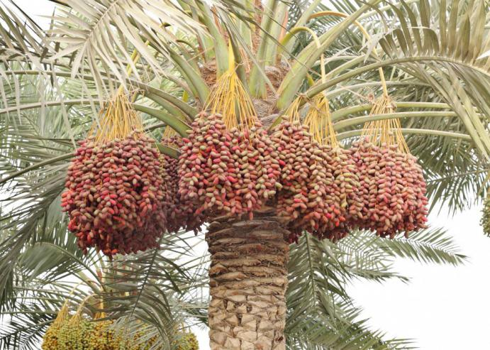 Вызревающие плоды на пальме
