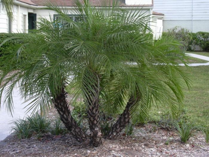 Финиковая пальма в ландшафтном дизайне