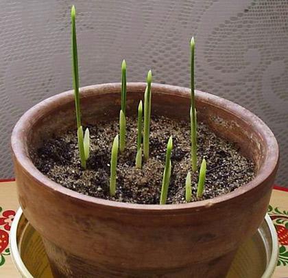 Всходы из семян финика