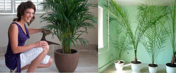 Полив финиковой пальмы