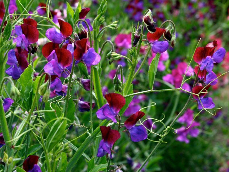 Пятёрка самых ароматных цветов для российского сада